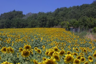 Fields of Sunflowers in Italy: where and when to find them