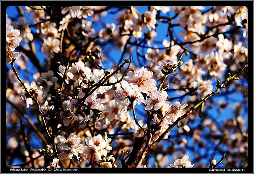 Italy in February, Almond Blossoms